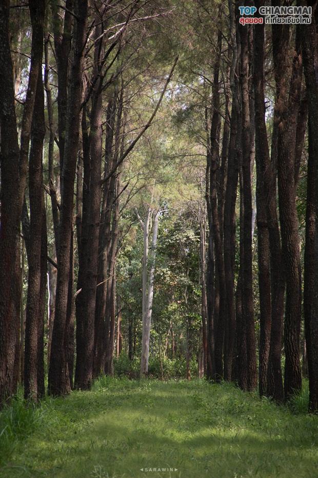 สวนสนแม่แตง (3)