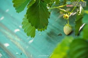 ไร่สตรอเบอรี่ข้องหลวง - สะเมิง (6)