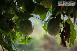 ไร่วงค์วาน - สะเมิง (19)