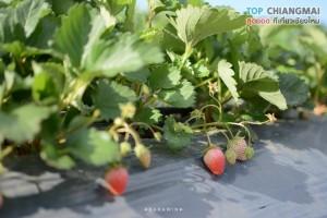 ไร่สตรอเบอรี่ ไซ เฮง - แม่ริม (2)