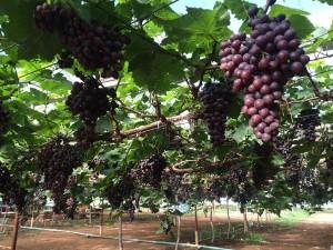 grand-berry-garden (2)