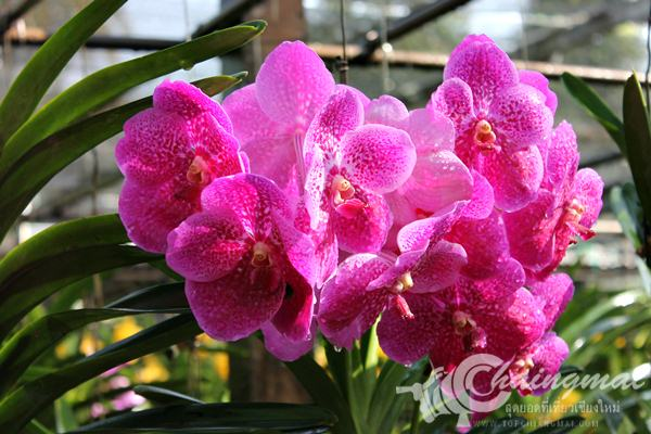 bai-orchid