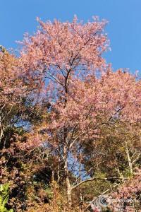 pink_sakura (15)