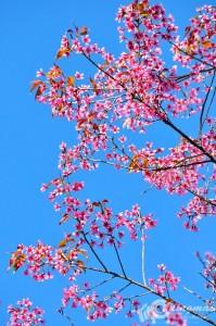 thai_sakura (7)